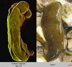 Alaqah (Leech)